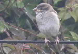 Juvey Sparrow