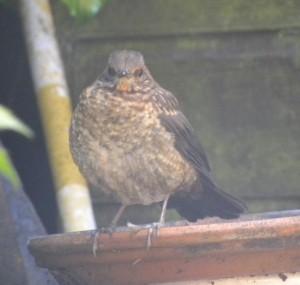 Juvey Blackbird