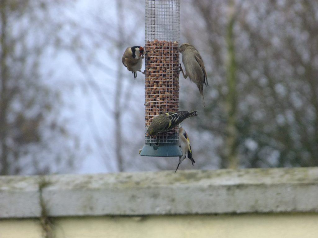 Goldfinches, House Sparrow & Siskin on nut feeder