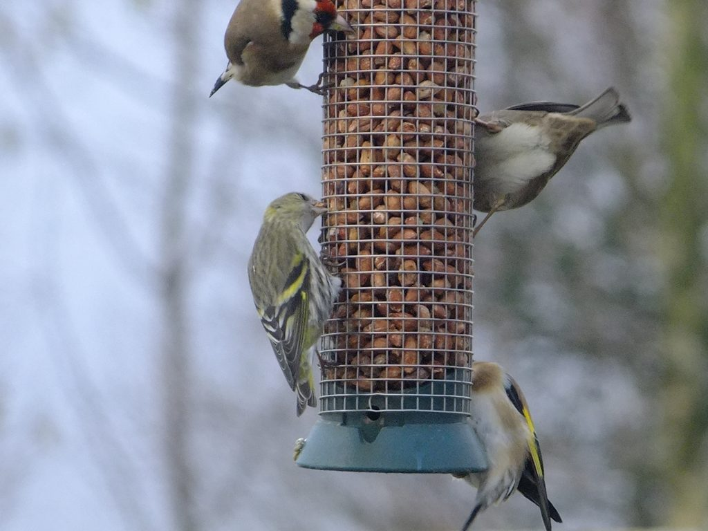 Siskin, Goldfinches on nut feeder