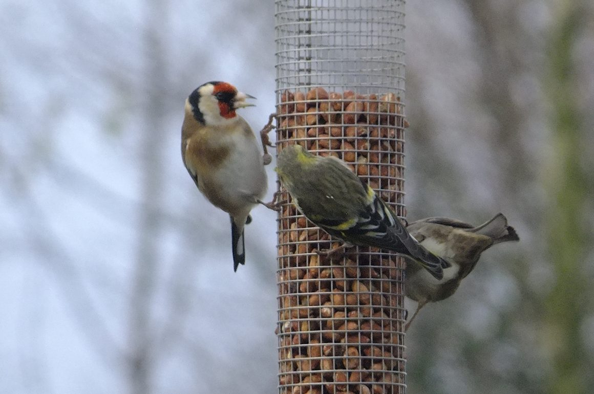 Goldfinches, Siskin on nut feeder