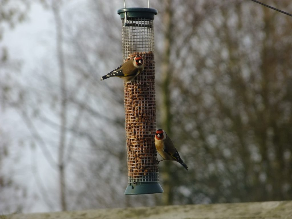 Goldfinches on nut feeder