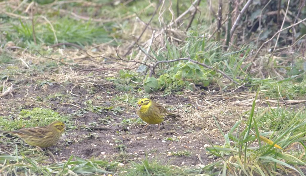 2 Yellowhammers