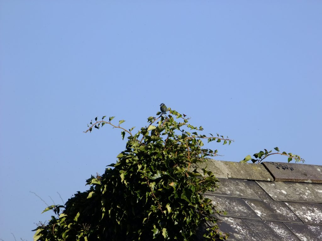 Blue Tit on ivy roof