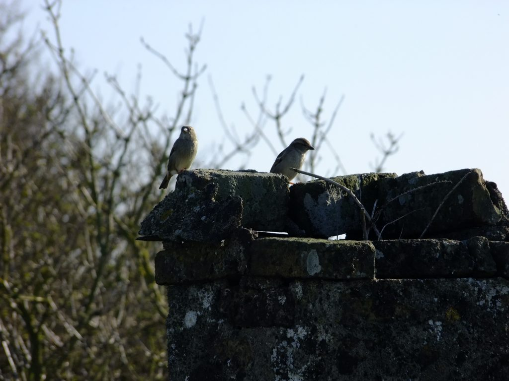 sparrows on old chimney
