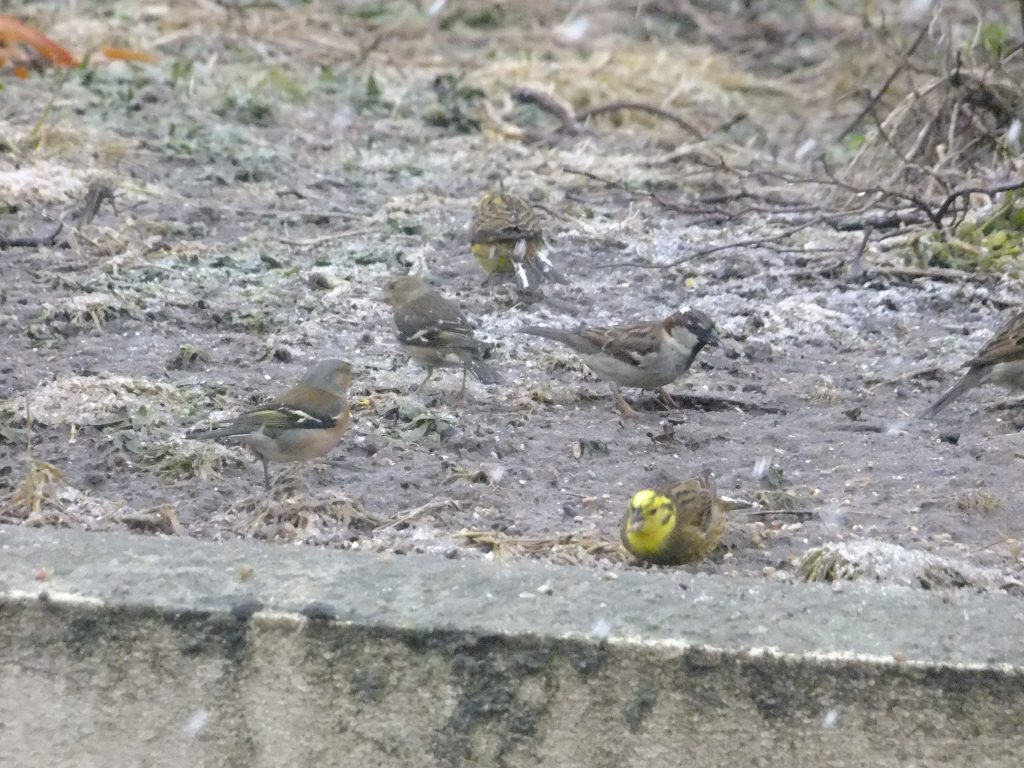 Chaffinches, Yellowhammers, Sparrow