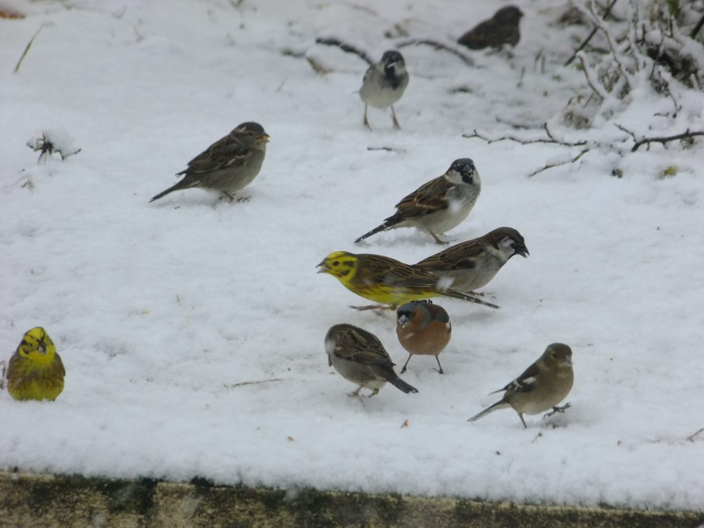 Yellowhammers, Chaffinches, House Sparrows in snow