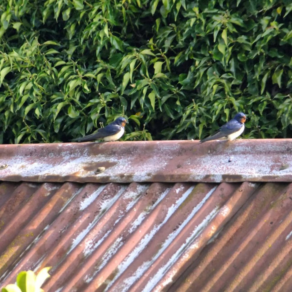2 swallows on barn roof