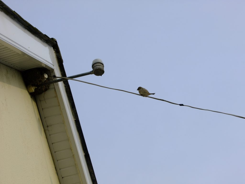 house sparrow sitting on wire in front of housemartins nest