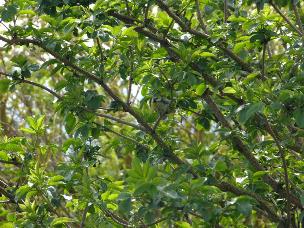 blue tit in tree