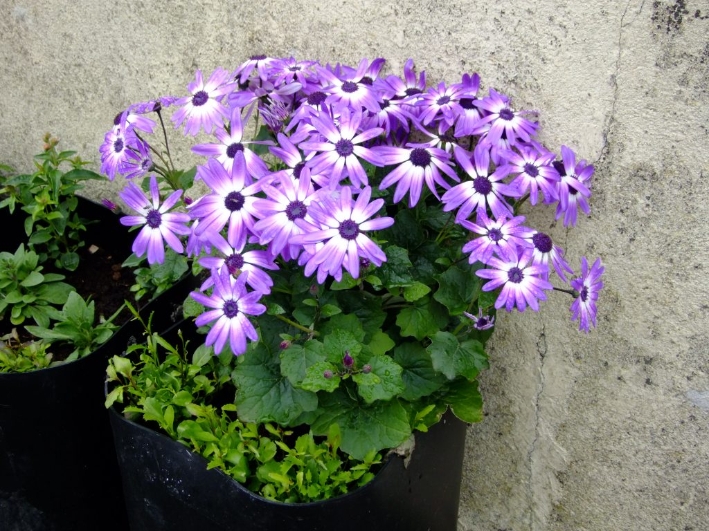 Senetti flowers in container