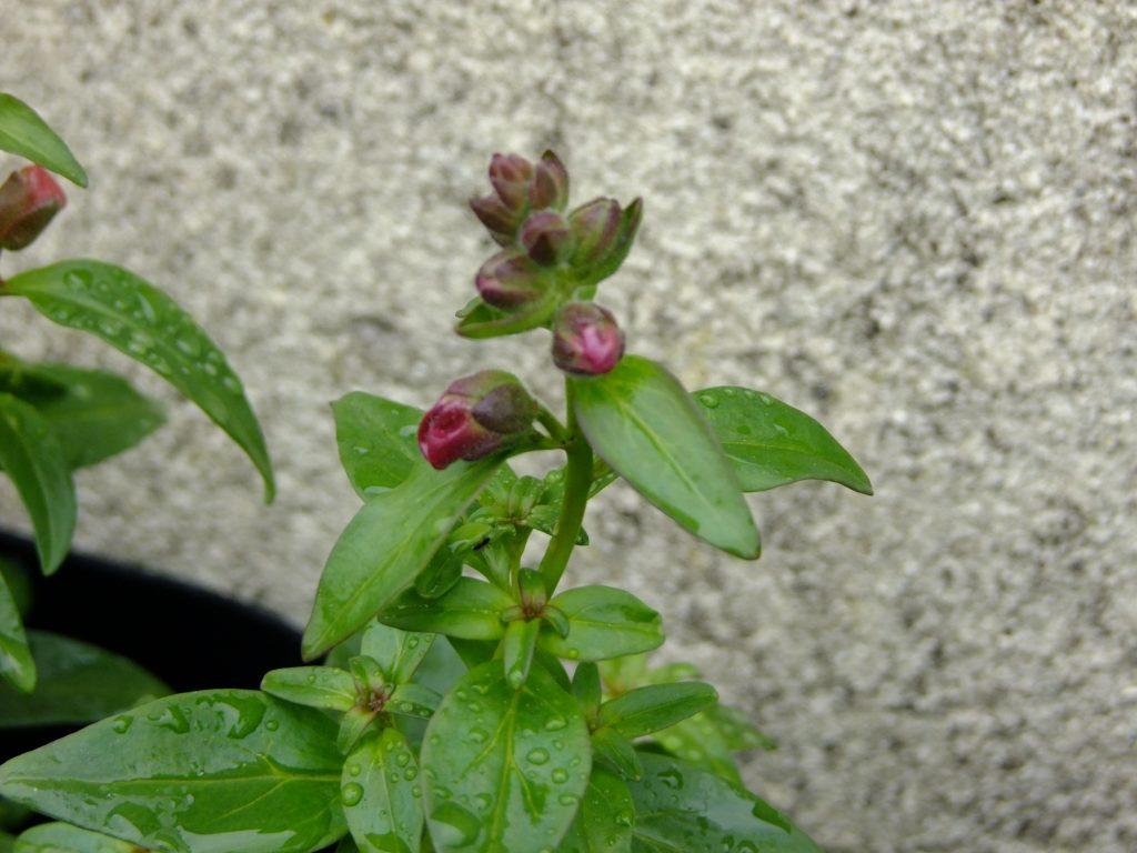 snapdragon flowers