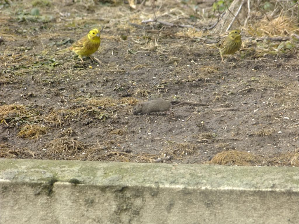 Woodmouse in front of Yellowhammers