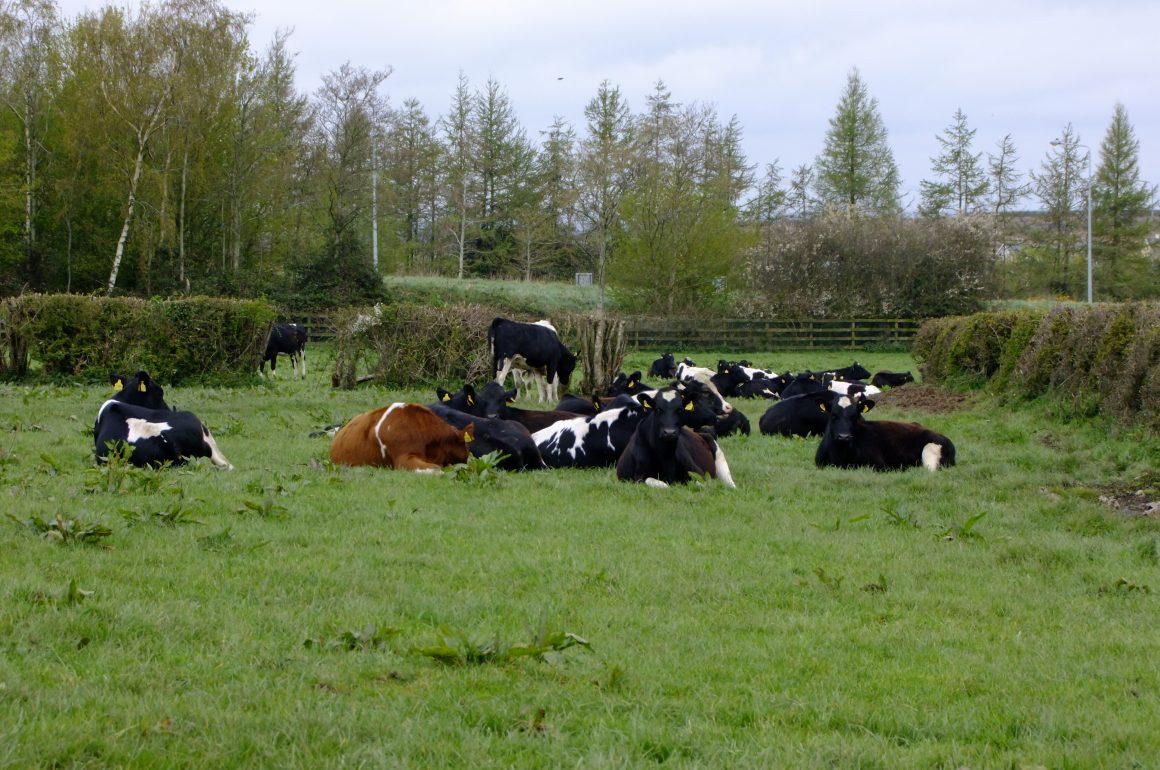 cows lying in field
