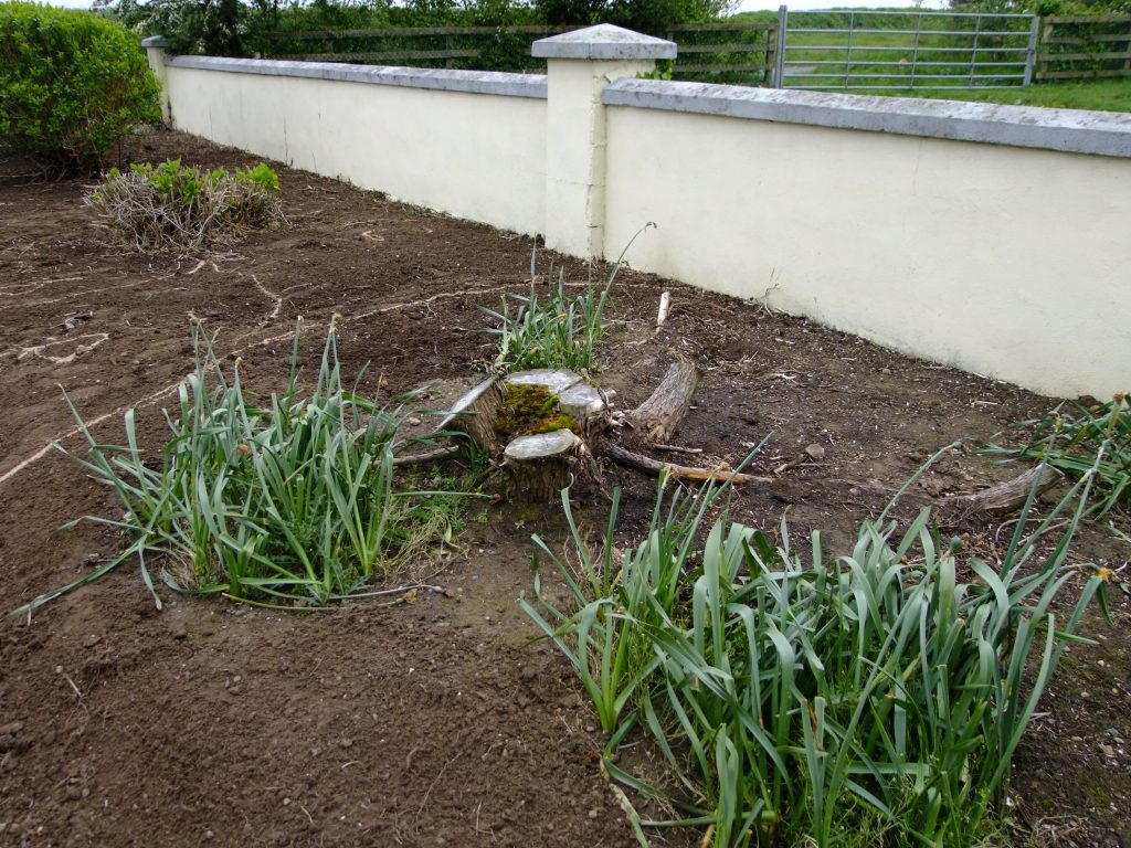 daffodils and grass seeds