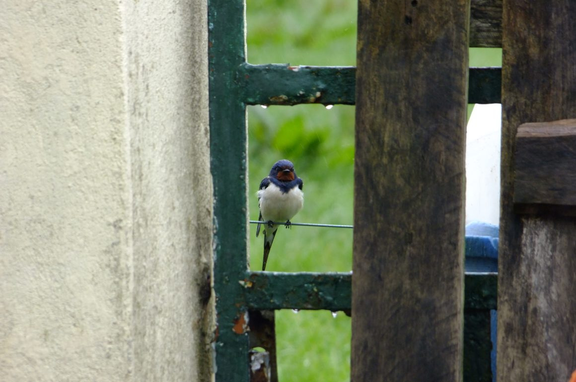 Swallow on gate in rain