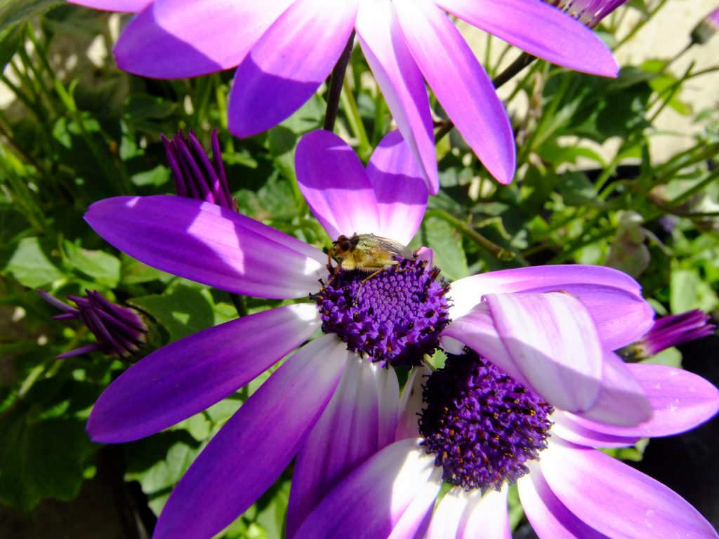 Fly on senetti