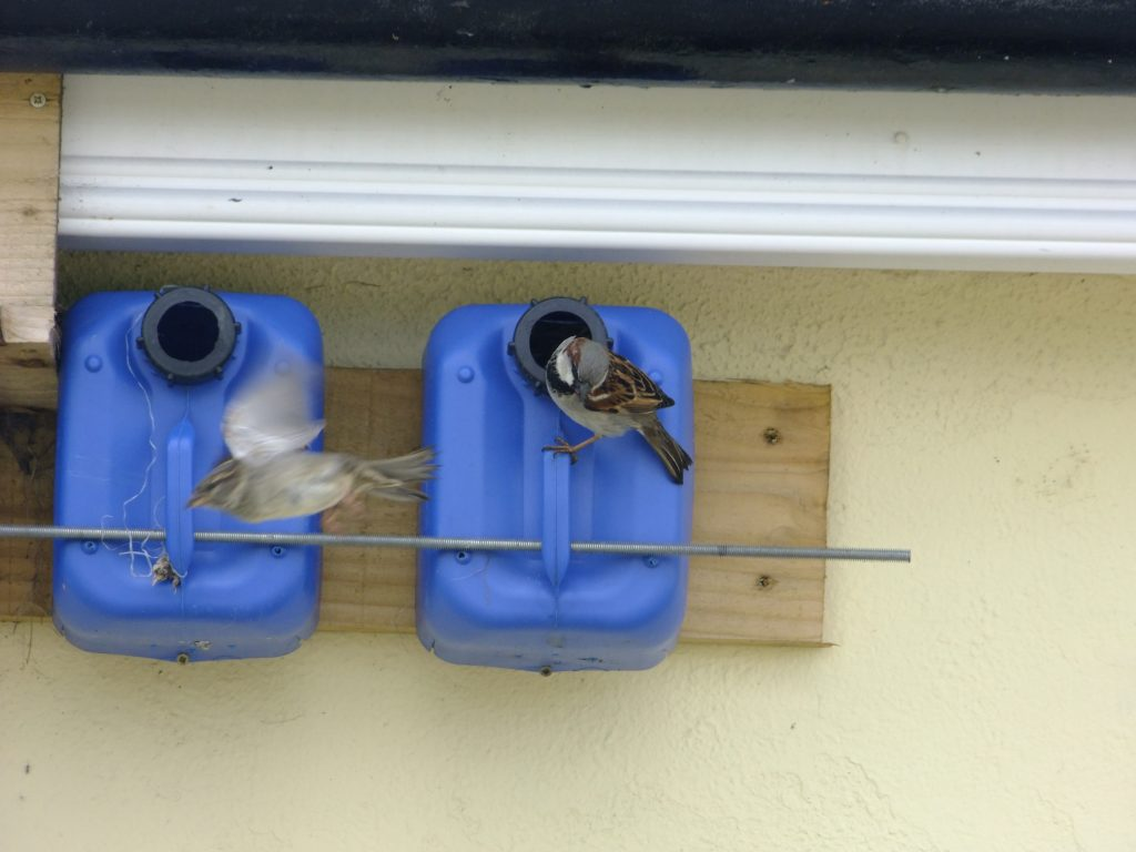 Pair of House Sparrows with their nest box
