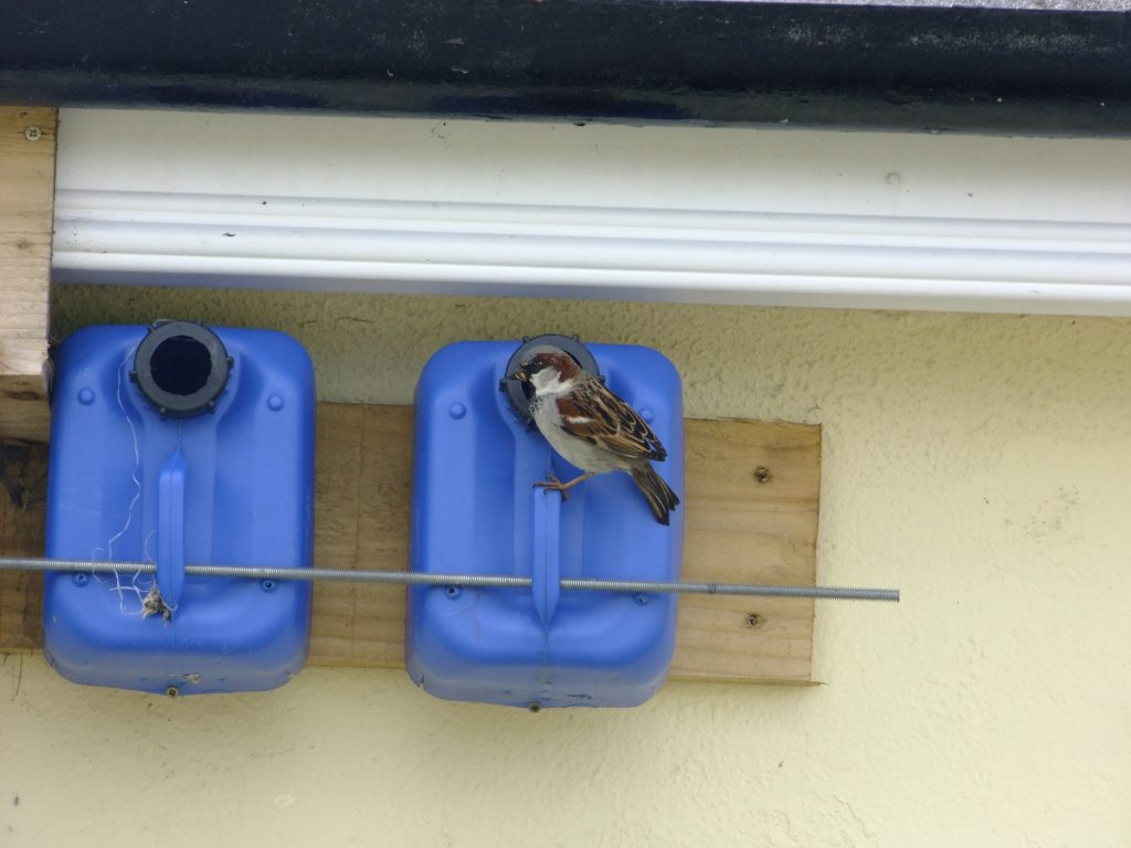 House Sparrow taking insect into nest box