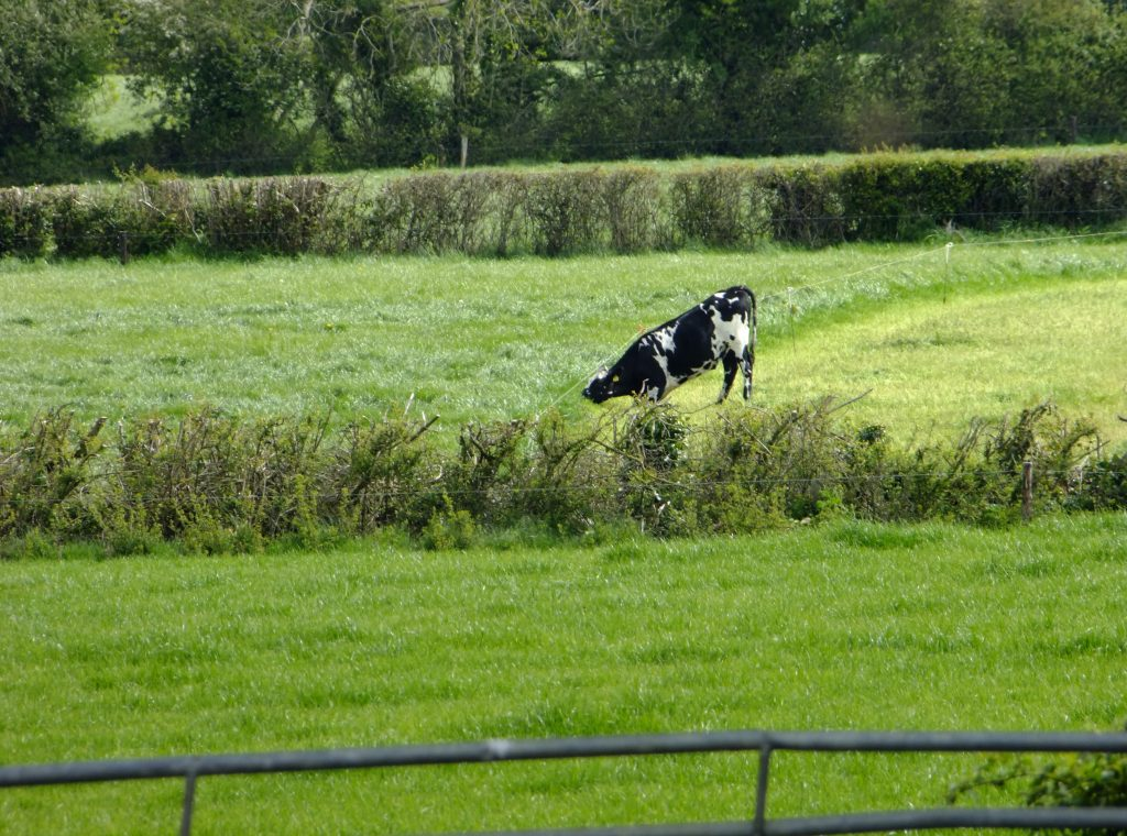 cow eating grass under fence
