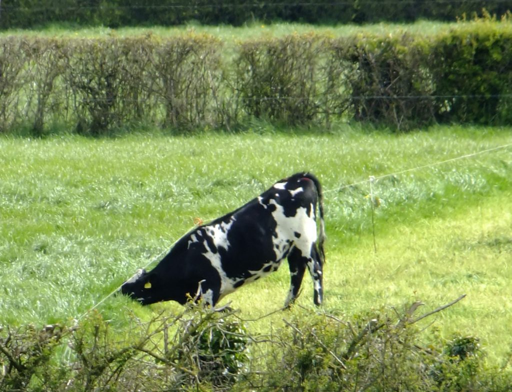 cow under electric fence