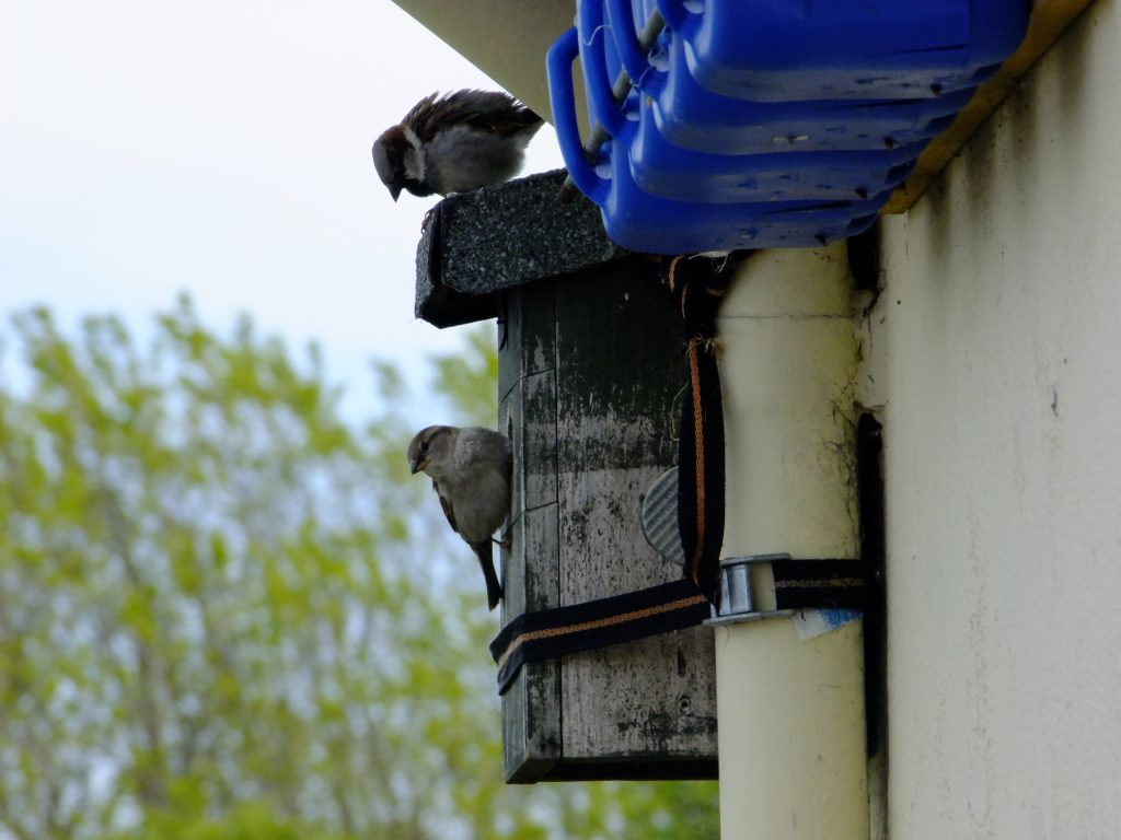 House sparrows on nest box