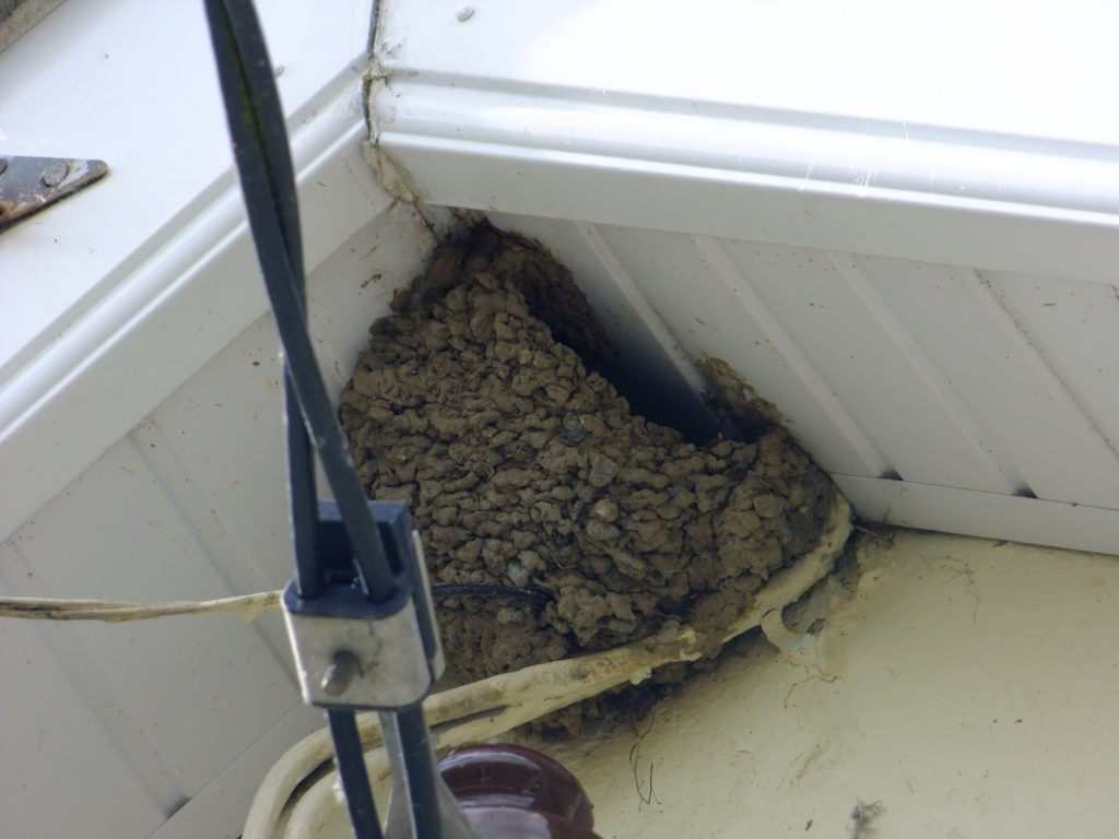 Housemartins nest