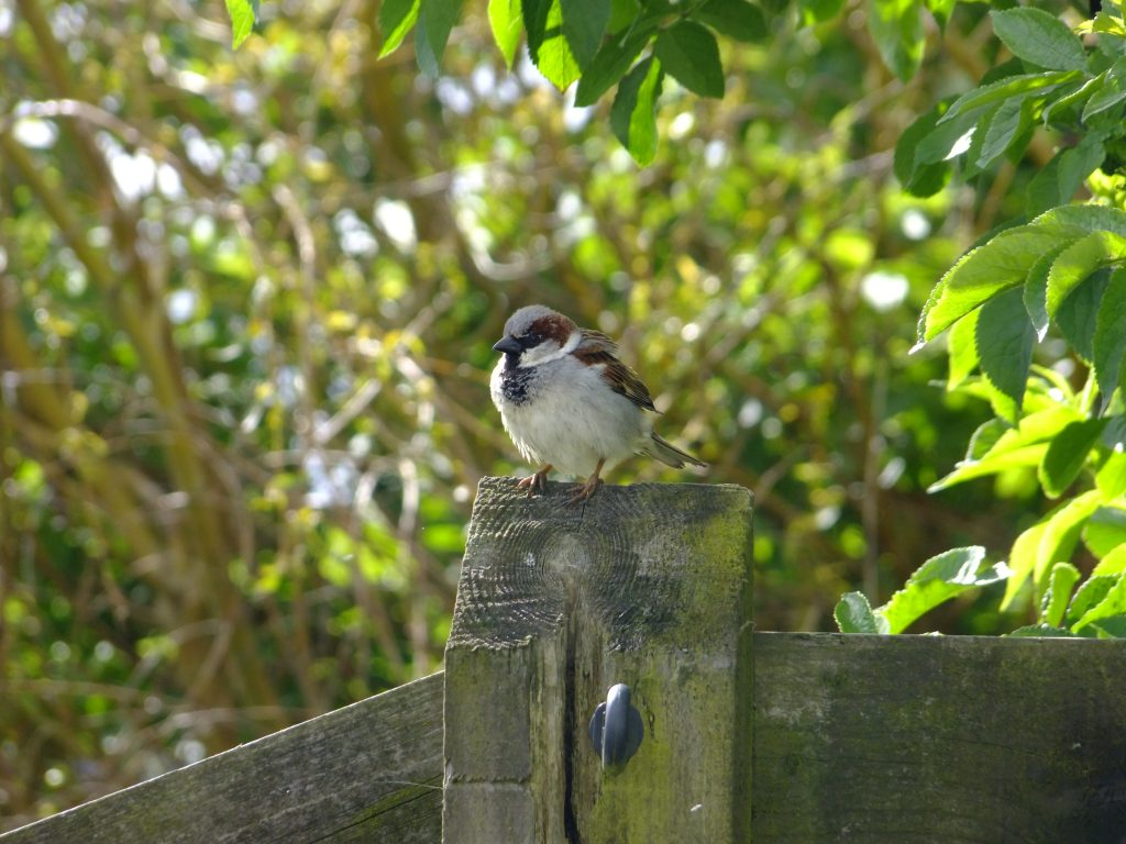 Male house sparrow sitting on post