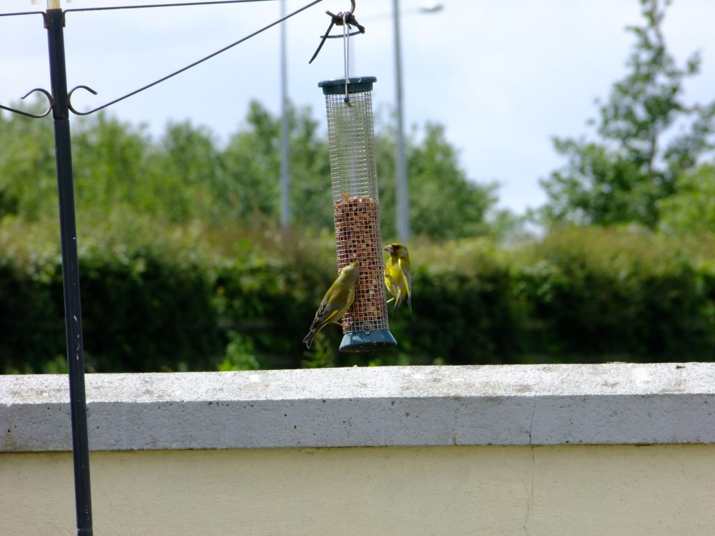 Greenfinches on peanut feeder