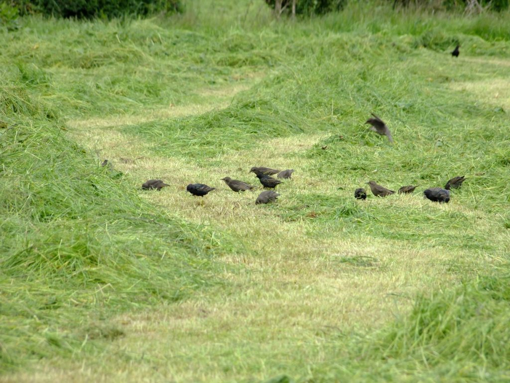 starlings feeding in the field