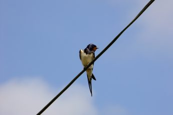 swallow on wire