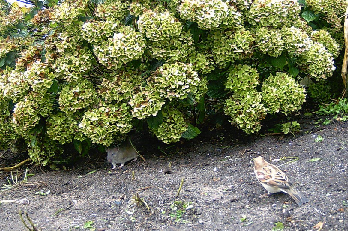 sparrow-rat