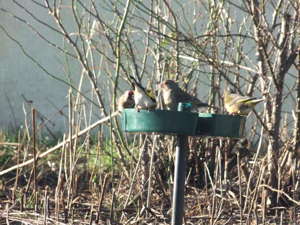 goldfinches and greenfinches feeding