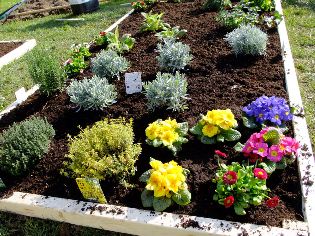 primulas and bellis in bed with herbs