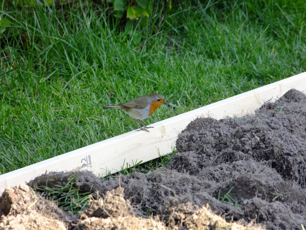 robin on raised bed