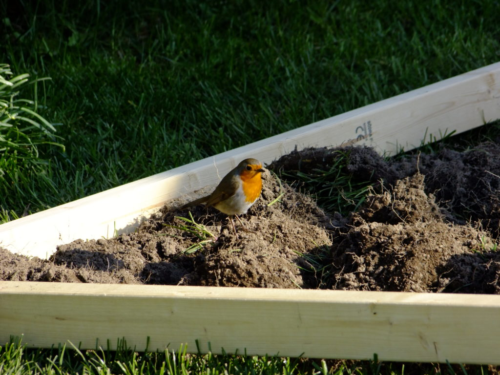 robin on soil