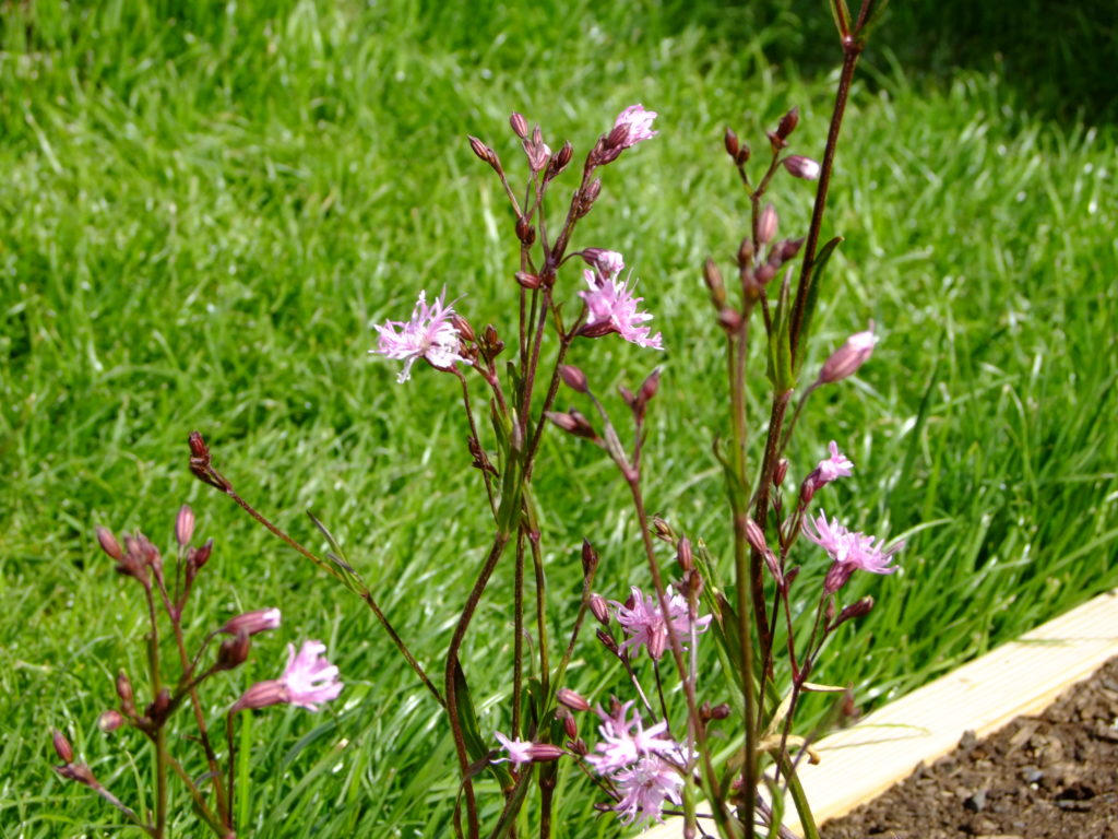 ragged robin flowers
