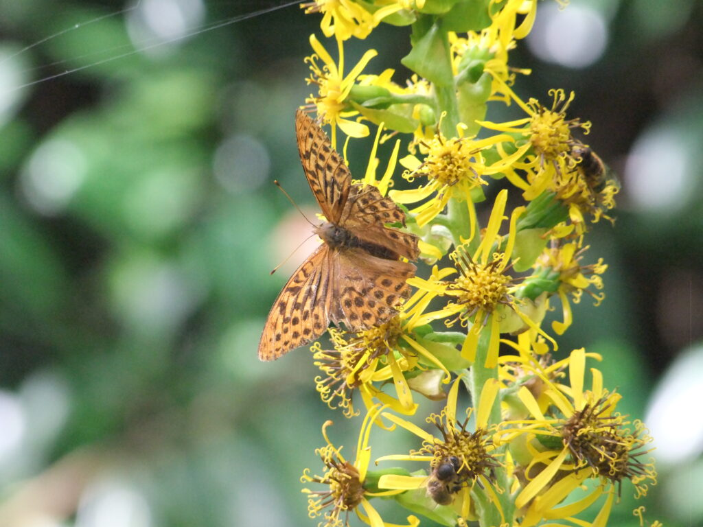 Silver-washed Fritillary butterfly