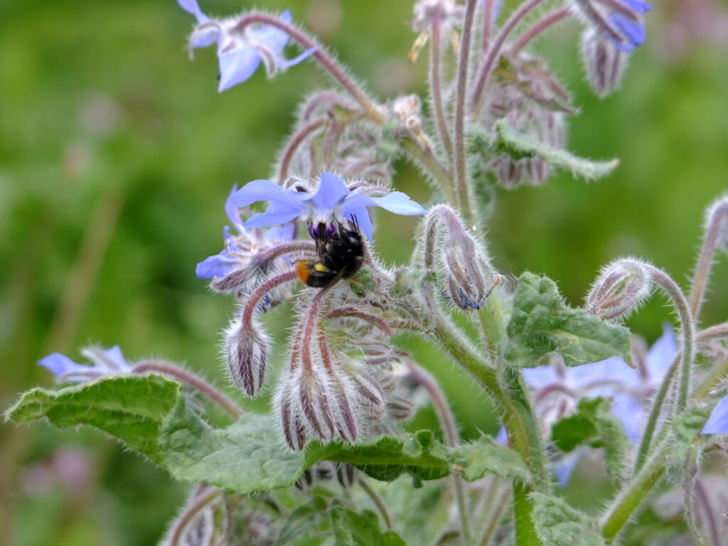 bee on borage flower